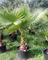 Вашингтония – Washingtonia
